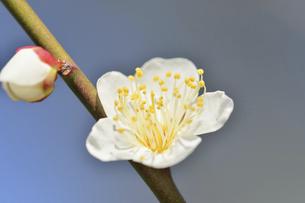 梅の花の写真素材 [FYI04766085]