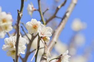 梅の花の写真素材 [FYI04766086]