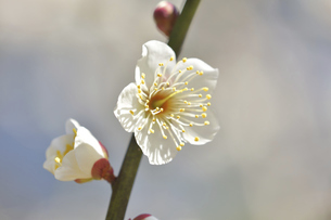 梅の花の写真素材 [FYI04766087]