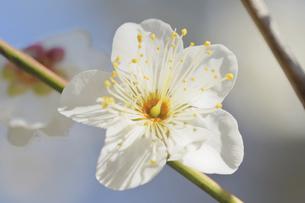 梅の花の写真素材 [FYI04766088]