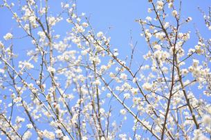 梅の花の写真素材 [FYI04766089]