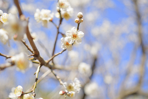 梅の花の写真素材 [FYI04766090]