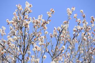 梅の花の写真素材 [FYI04766091]