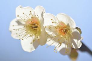 梅の花の写真素材 [FYI04766092]