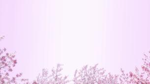 桜の花とピンクの背景。新春、春の催しのバナー背景。暖かさのある広いコピースペース。8kサイズ。のイラスト素材 [FYI04766377]