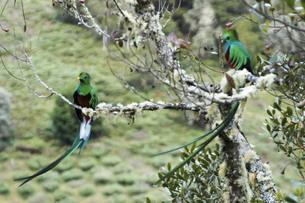 枝にとまってる2羽のコスタリカ野生のケツァール(カザリキヌバネドリ)の写真素材 [FYI04766473]
