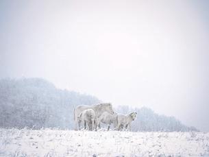 冬の道産子の写真素材 [FYI04767009]