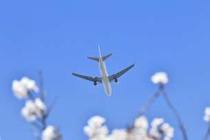 桜と旅客機の写真素材 [FYI04767019]