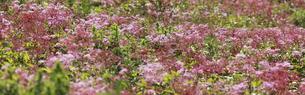 伊吹山の高山植物の写真素材 [FYI04767590]