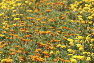マリーゴールドの花畑の写真素材 [FYI04767591]