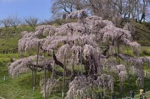 三春 滝桜の写真素材 [FYI04767652]