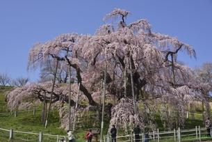三春 滝桜の写真素材 [FYI04767653]