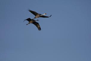 青空をバックに飛ぶナベヅルの番いの写真素材 [FYI04767655]