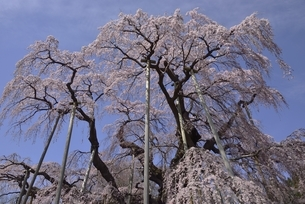 三春 滝桜の写真素材 [FYI04767658]