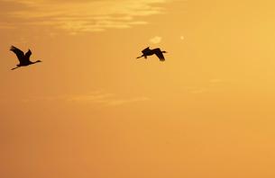 夕焼けをバックに飛ぶナベヅルの番いの写真素材 [FYI04767661]