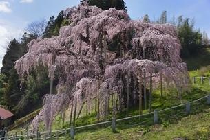 三春 滝桜の写真素材 [FYI04767663]