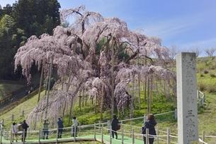 三春 滝桜の写真素材 [FYI04767665]