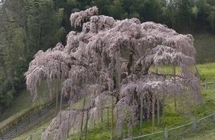 三春の滝桜の写真素材 [FYI04767670]