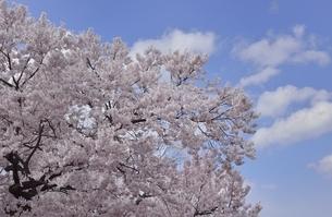 桜と青空の写真素材 [FYI04767679]