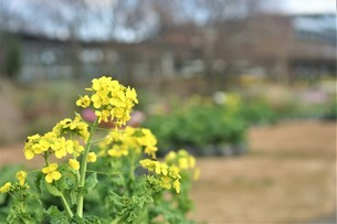 冬に春色の庭園。の写真素材 [FYI04768077]