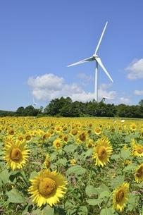 ヒマワリ畑と風力発電の写真素材 [FYI04768264]