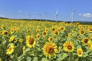 ヒマワリ畑と風力発電の写真素材 [FYI04768285]