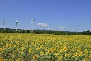 ヒマワリ畑と風力発電の写真素材 [FYI04768296]
