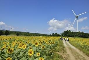 ヒマワリ畑と風力発電の写真素材 [FYI04768297]