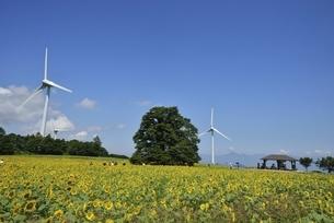 ヒマワリ畑と風力発電の写真素材 [FYI04768298]