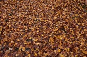 落ち葉の絨毯 楓の写真素材 [FYI04768333]