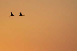 夕焼けをバックに飛ぶナベヅルの番いの写真素材 [FYI04768402]