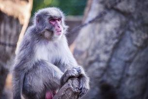 座って休む猿の写真素材 [FYI04768558]
