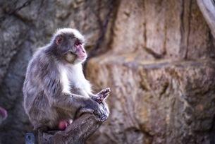 座って休む猿の写真素材 [FYI04768559]