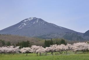 磐梯山 町営牧場 桜並木の写真素材 [FYI04768586]