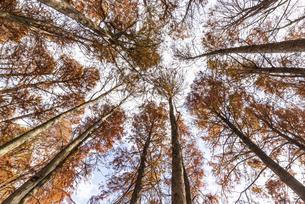 紅葉した築上町のメタセコイヤの林の写真素材 [FYI04768638]
