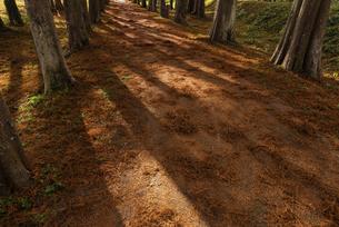 : 紅葉したメタセコイヤの遊歩道の写真素材 [FYI04768641]