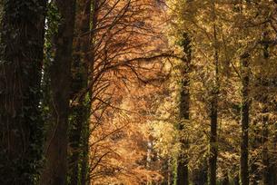 紅葉したメタセコイヤの木の写真素材 [FYI04768642]