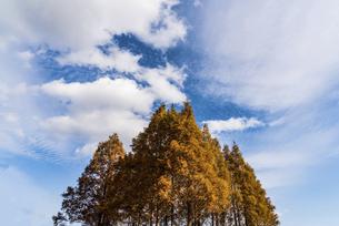 紅葉した築上町のメタセコイヤの林の写真素材 [FYI04768644]