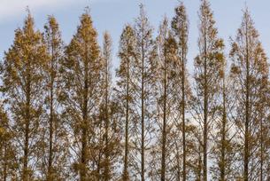 紅葉した築上町のメタセコイヤの林の写真素材 [FYI04768649]