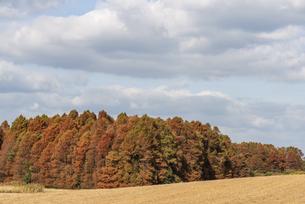 紅葉したメタセコイヤのある風景の写真素材 [FYI04768651]