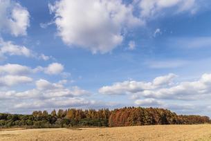 紅葉したメタセコイヤのある風景の写真素材 [FYI04768653]