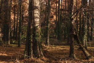 紅葉したメタセコイヤの森の写真素材 [FYI04768656]