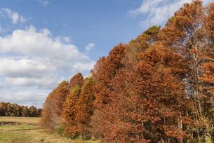 紅葉したメタセコイヤのある風景の写真素材 [FYI04768662]