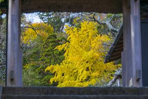 東慶寺の大銀杏の写真素材 [FYI04768677]