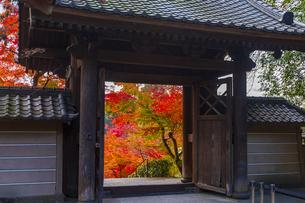 円覚寺の総門と紅葉の写真素材 [FYI04768697]