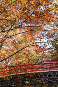 紅葉した枝葉に覆われた赤い欄干の写真素材 [FYI04768752]