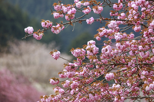満開の八重桜の写真素材 [FYI04768901]