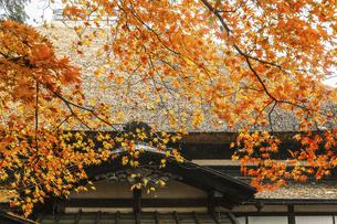 武家屋敷茅葺き屋根前に見る紅葉したイロハモミジの写真素材 [FYI04769159]