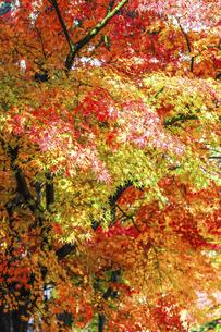 紅葉した一面のイロハモミジの写真素材 [FYI04769163]