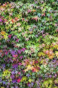 紅葉を見る色とりどりのイロハモミジの写真素材 [FYI04769164]